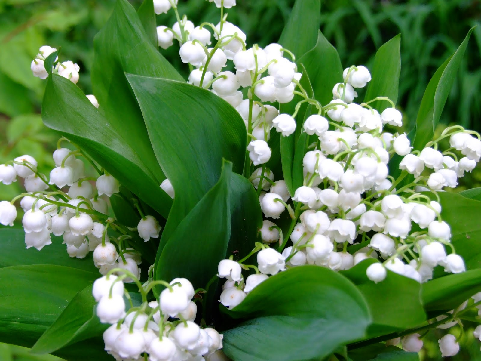 Lily Of The Valley Beauty
